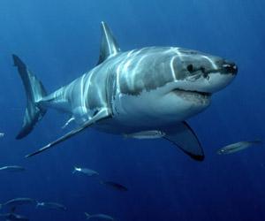 Sabías que los tiburones no pueden dejar de nadar nunca?