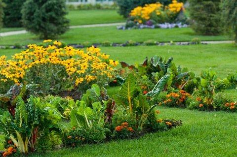 мангольд, огород, декоративное растение, дизайн, украшение огорода, на клумбах