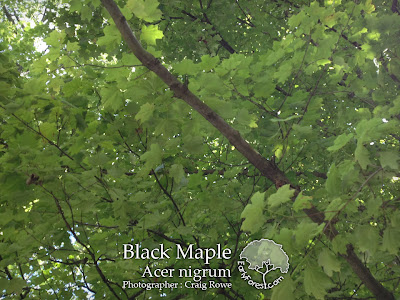 Black Maple Leaves