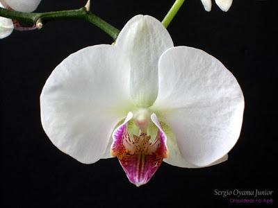 Orquídea Phalaenopsis semi-alba