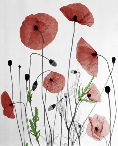 11-Poppys-Arie-van-t-Riet-Colored-X-ray-Photographs-of-Nature-www-designstack-co