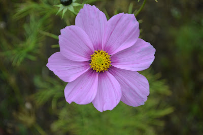 cosmos family friendly plant