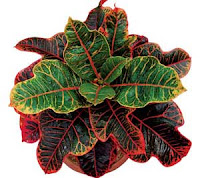 How To Care Croton Plant For Good