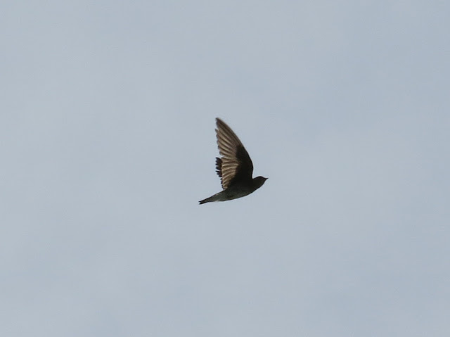 Northern Rough-winged Swallow - Niagara Falls, New York