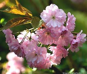 Ein Kirschblütenmeer