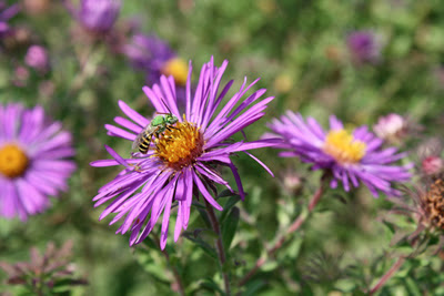 A native bee (genus: Agapostemon) on New England Aster flower. Photo by Jolie Goldenetz Dollar