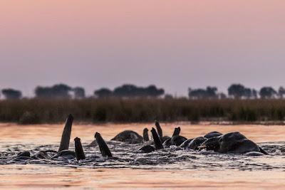 Bij zonsondergang wil een kudde olifanten de Chobe rivier over steken richting Namibië, een riskante onderneming want ook buffels willen door de rivier.