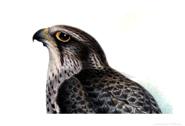 Falcon- Picture ::: Wonderweirded Vintage Animal Illustrations