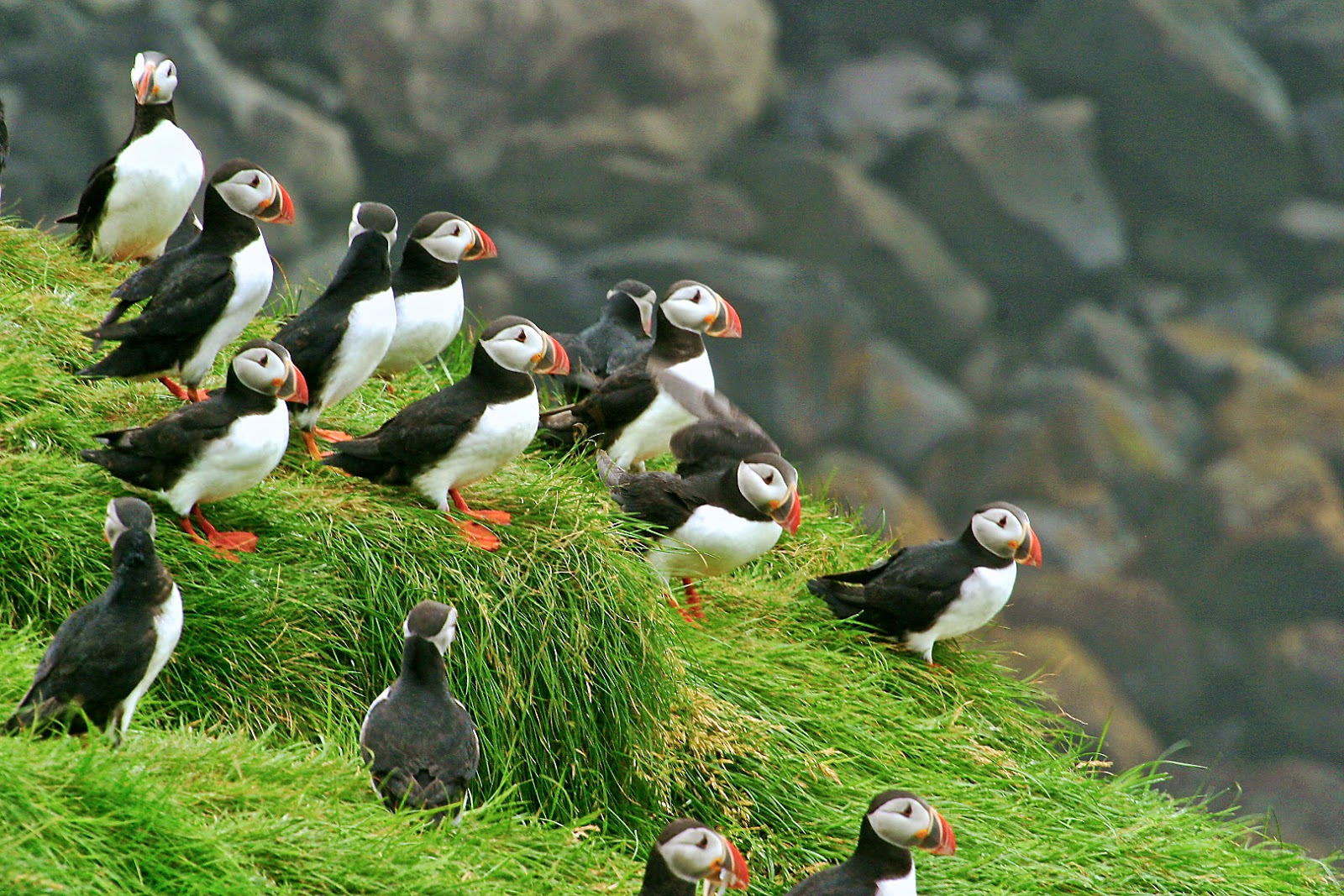 Birdwatching in Iceland
