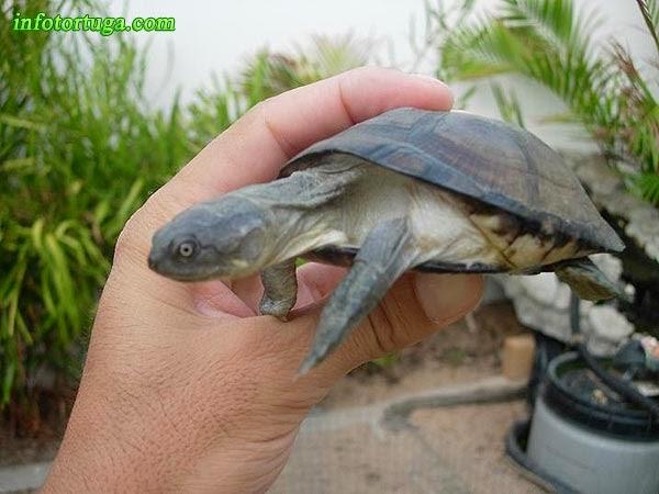 Pelomedusa subrufa - Helmeted turtle