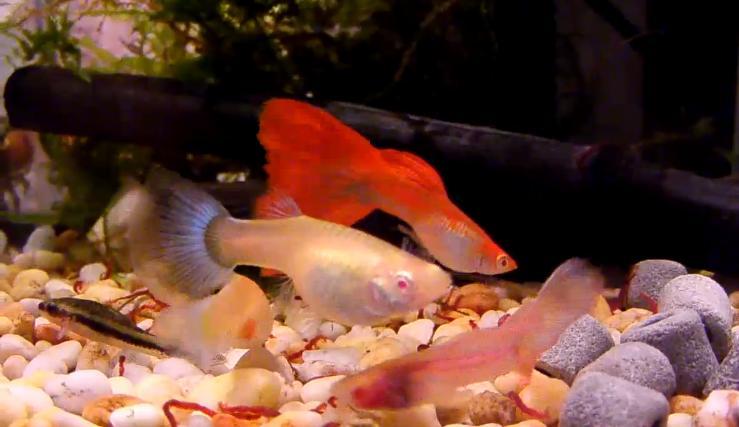 Fish zone guppy fish breeding for Fish breeding net