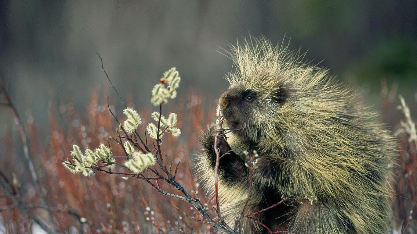 North American porcupine (© Minden Pictures/SuperStock) 573