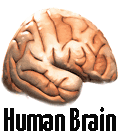 human brain small picture