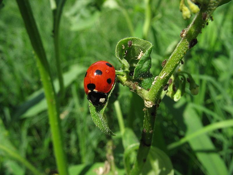 What Are Ladybug S Natural Habbitat