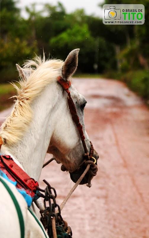 Cavalo utilizado para transporte de pessoas em charrete na ilha de Cotijuba, no Pará