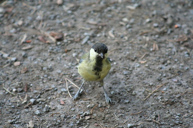 Angry Birds in real life, Birds look like Angry Birds