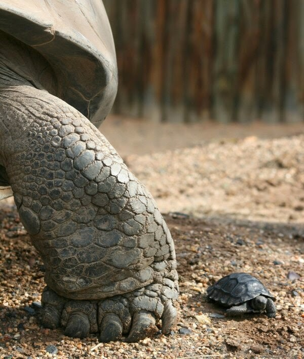 Funny animals of the week - 21 March 2014 (40 pics), funny animal pictures, baby turtle and his mom