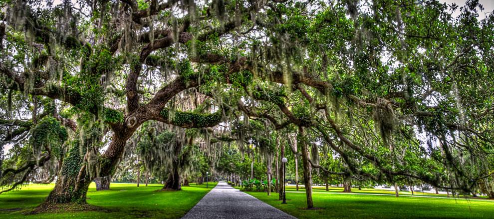 Type Of Oak Tree On Jekyll Island