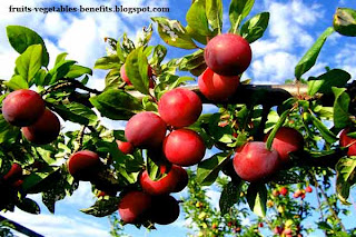 benefits_of_eating_plums_fruits-vegetables-benefits.blogspot.com(benefits_of_eating_plums_4)