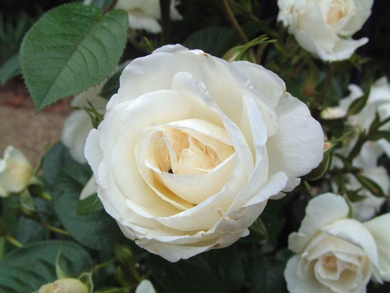 flowers for flower lovers white rose desktop hd wallpapers