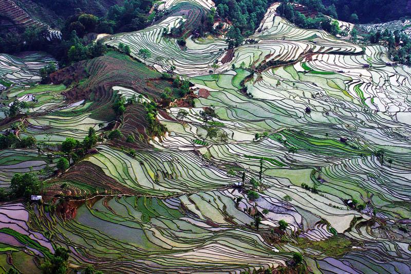 Terasasta polja  Pirincana-polja-2