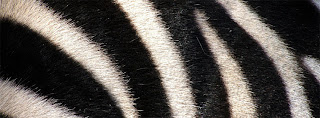 ZEBRA LINES COVER PHOTO FOR FACEBOOK