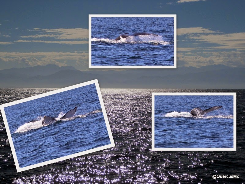 La cola de la ballena jorobada (Secuencia: Arriba, Derecha, Izquierda)