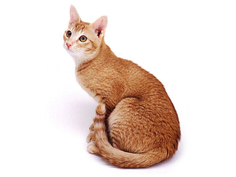 Mengenal Kucing Ceylon Kucing Gue