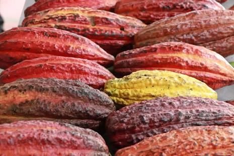 En 2020 Boyacá aportó 1.2 toneladas de cacao de calidad, para fortalecer la producción del grano en Colombia