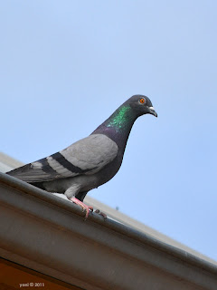 pigeon shine - port adelaide