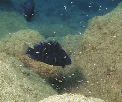 SCUBA dive Amphilophus astorquii Midas cichlid Nicaragua