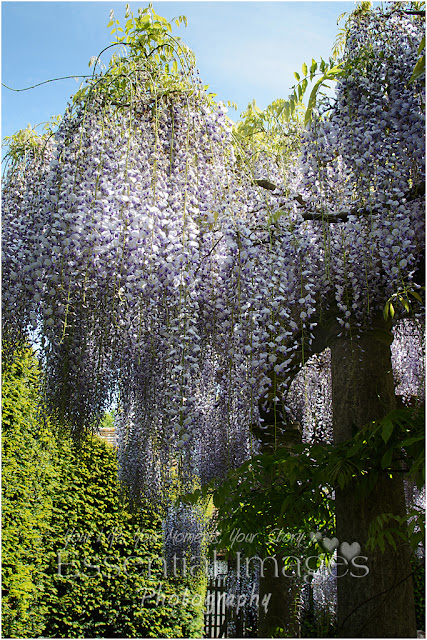 The flowering wisteria at Exbury