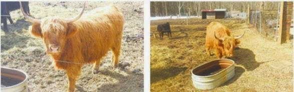 נמצאה פרה אדומה