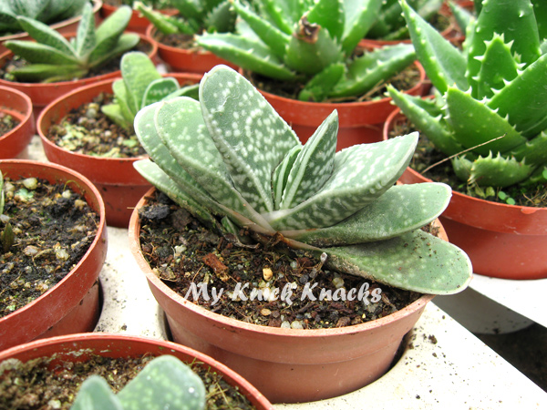 Fan Like Cactus Like a Hand Held Paper Fan