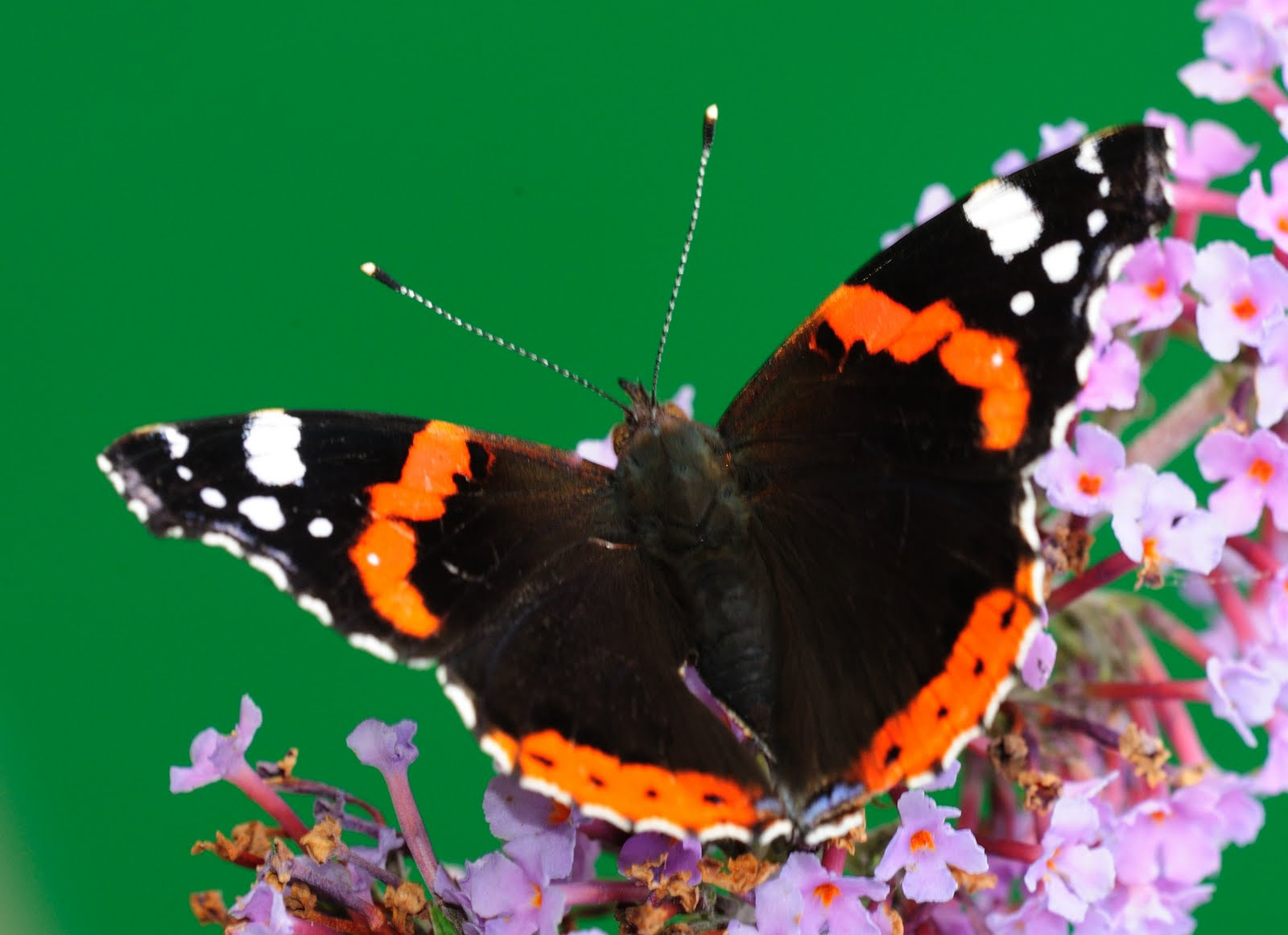 The Poor Mouth Red Admiral