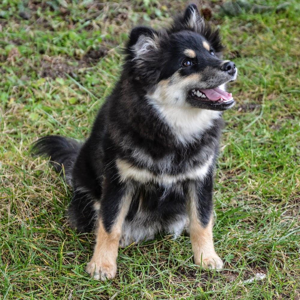 dog finnish lapphund