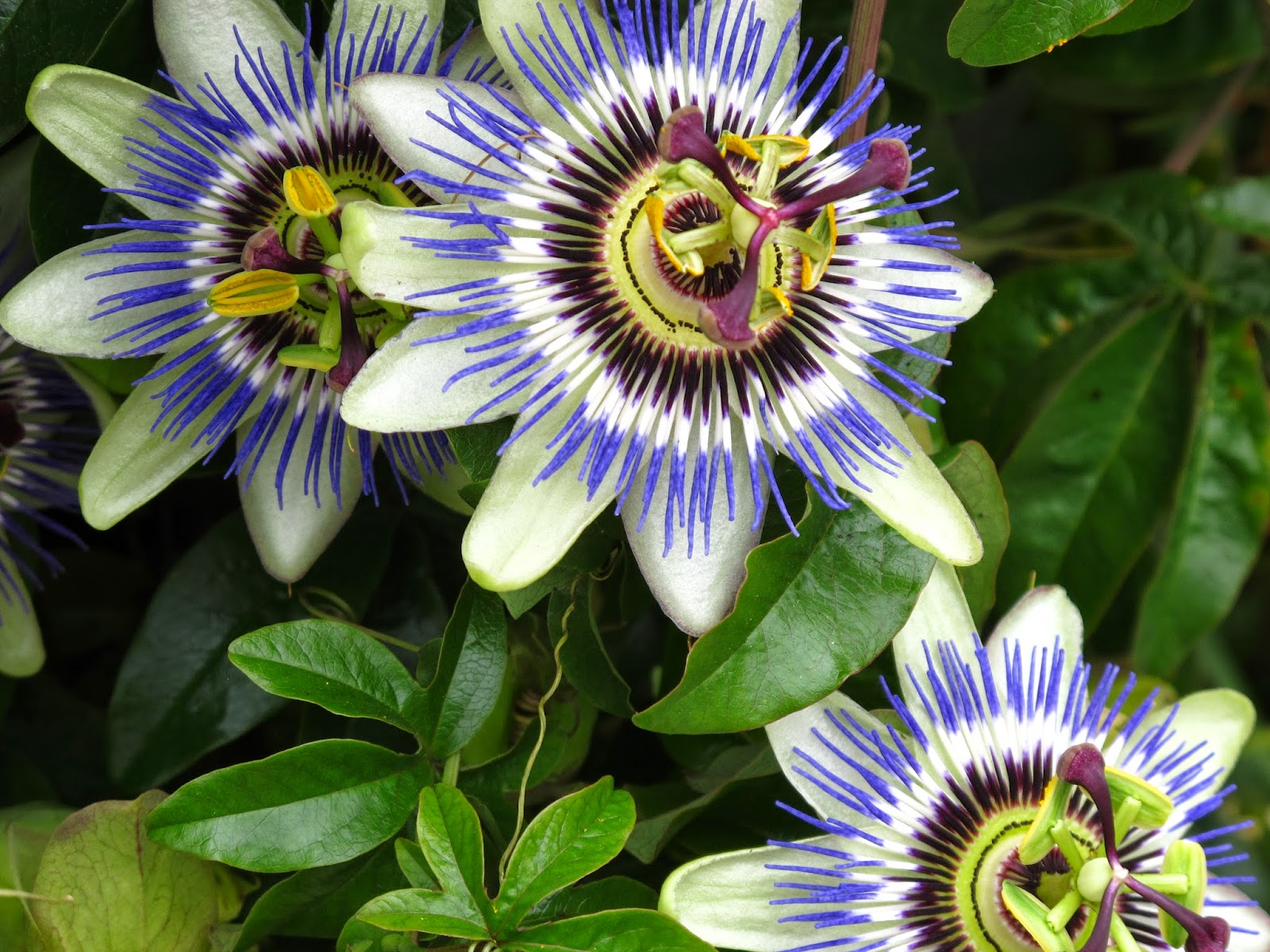 Benefits Of Passion Flower (Passiflora Incarnata) For Health