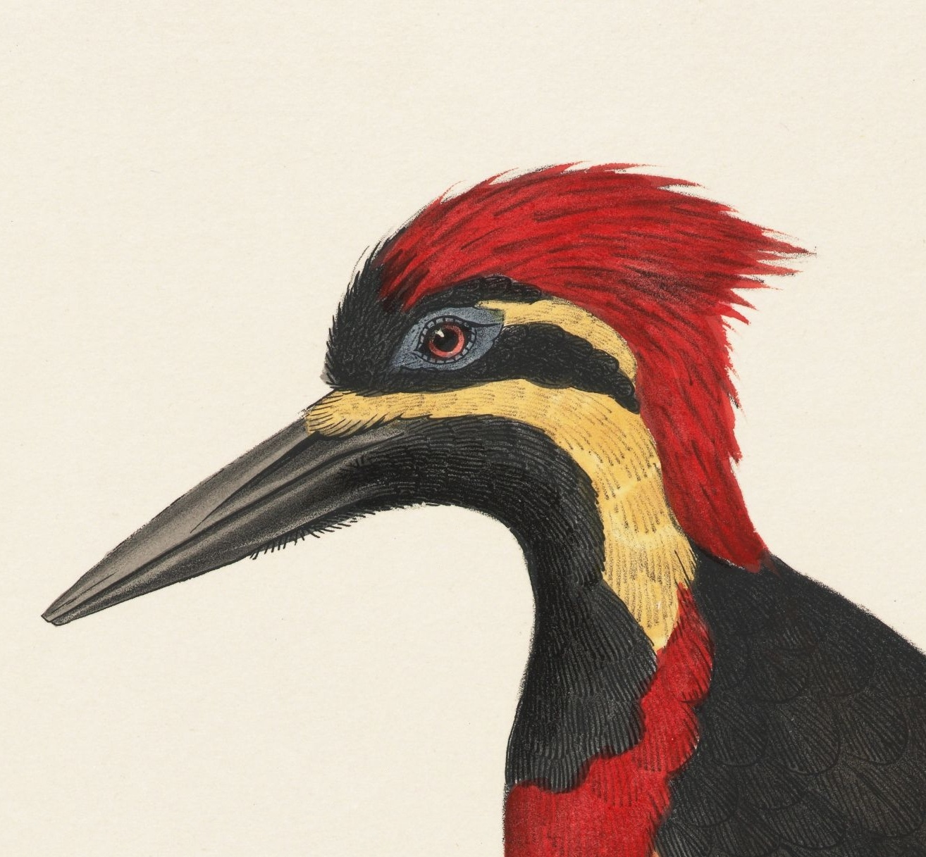 ornithology illustration - woodpecker