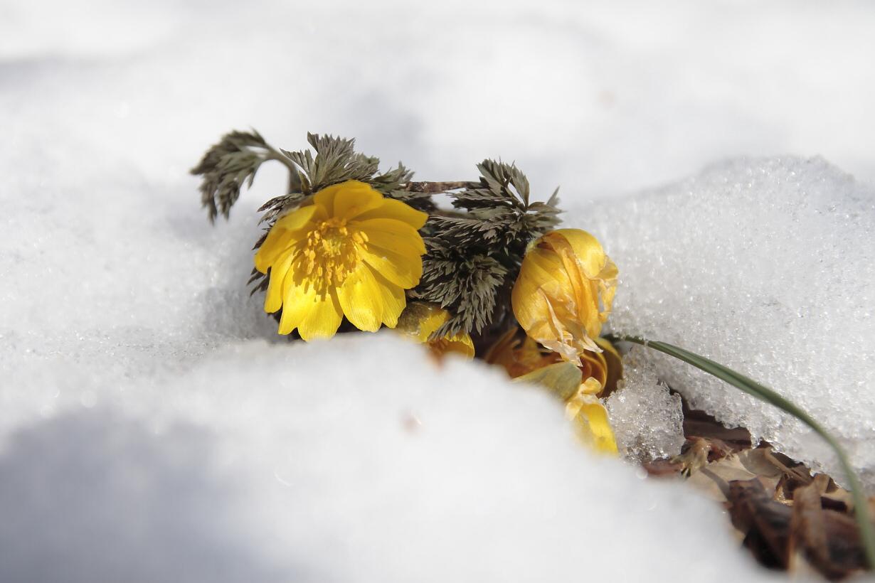 雪に福寿草
