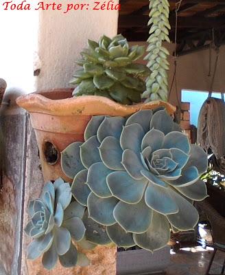Planta suculenta echeveria rosa de pedra