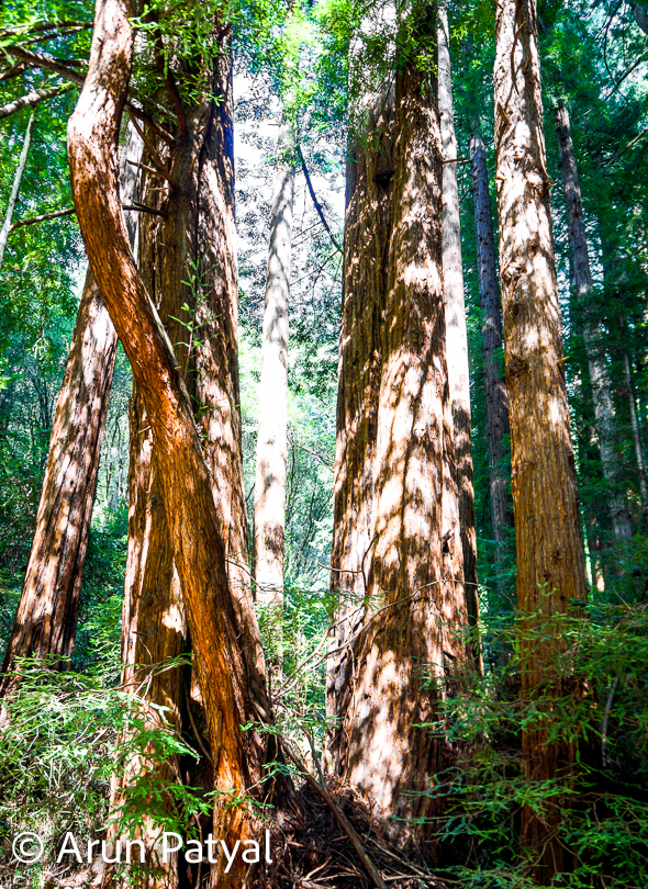 These trees inside Redwood National and State Parks are the tallest and one of the most massive tree species on Earth. In addition to the redwood forests, the parks preserve other indigenous flora, fauna, grassland prairie, cultural resources, portions of rivers and other streams, and huge coastline. US has few other places with such high trees. We shall soon be sharing more photo journeys from Muir Wood.