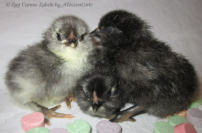 Day old Olive Egger chicks (Black Copper Marans x Ameraucana)