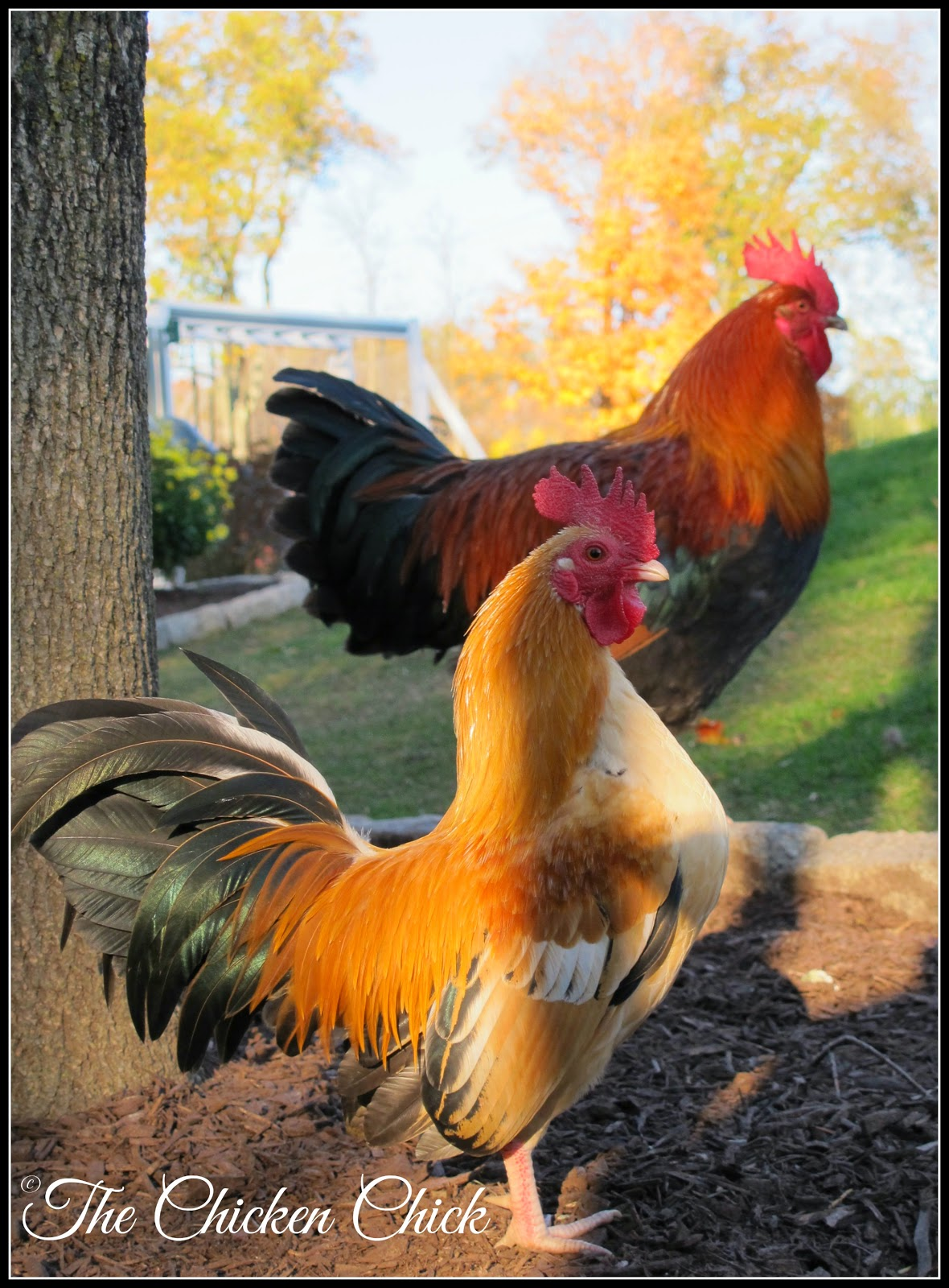 Caesar, Serama rooster & Samson, Red Dorking cockerel