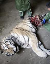 este es uno de los cuantos abusos que le podemos probocar al tigre