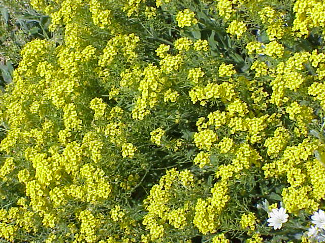 Yellow Perennial Flowers