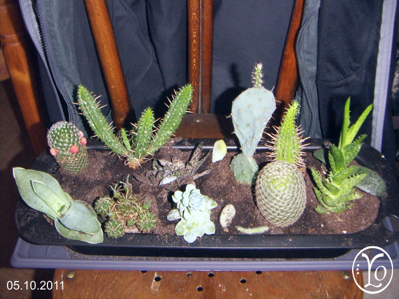 rue didelot regroupement de cactus et succulentes. Black Bedroom Furniture Sets. Home Design Ideas