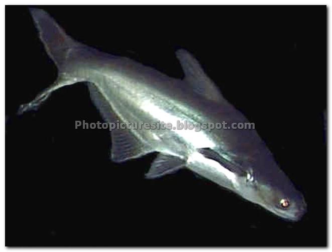10 cat fish shark for Shark fish for aquarium