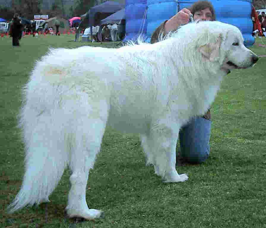 great pyrenees mountain dog