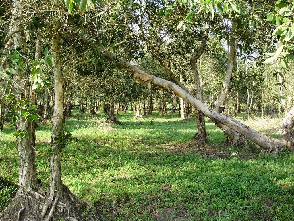Gambar Pohon kayu gelam