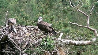 Osprey family at Tweed Valley